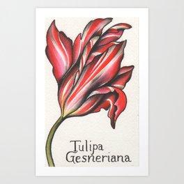 Didier's Tulip or Garden Tulip Watercolor Art Print