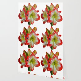 LARGE RED-WHITE AMARYLLIS FLOWERS ON WHITE Wallpaper
