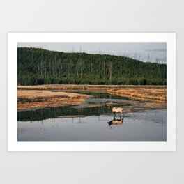 Bull Elk Crossing a River in Yellowstone Art Print