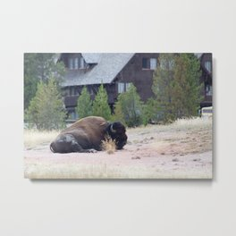 Buffalo in a Field with a Building in the background Metal Print