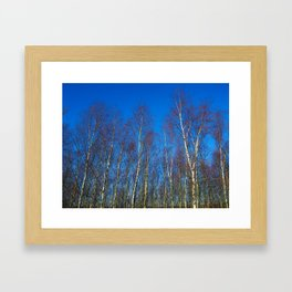Silver birch in winter Framed Art Print