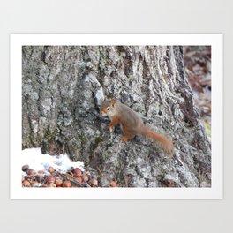 Acadia Squirrel Art Print
