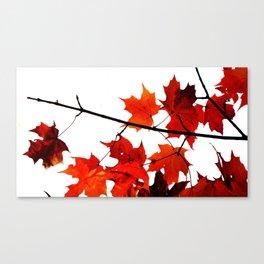 Sugar Maple Leaves in Autumn Canvas Print