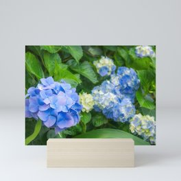 Blue and Yellow Hortensia Flowers Mini Art Print