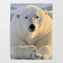 Majestic Giant Adult Polar Ice Bear Sitting On Cold Ground Close Up Ultra HD Poster