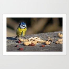 Blue tit feeding Art Print