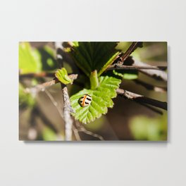 Little Ladybug Photography Print Metal Print