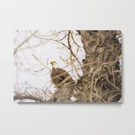 Bald Eagle Perched in Tree Metal Print