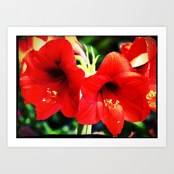 Red Amaryllis Art Print