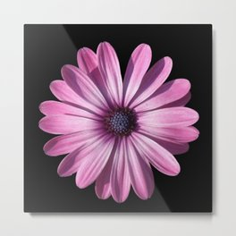 Spectacular African Daisy Isolated On Black Metal Print