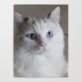 Ragdoll Cat Blue Eyes Poster