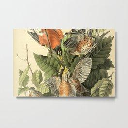 American robin Metal Print