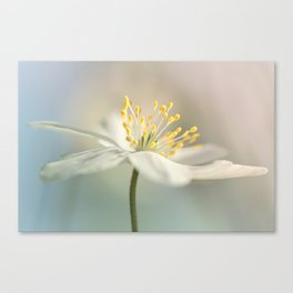 Loveable Wood Anemone... Canvas Print