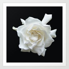 Gardenia on Black DPG150524 Art Print