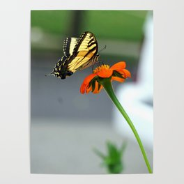 Swallowtail Butterfly on Mexican Sunflower Poster