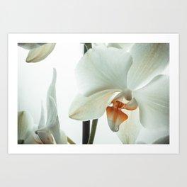 White orchid flower Art Print