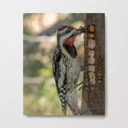 Sapsucker with bugs Metal Print