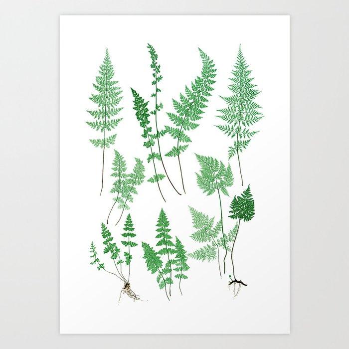Ferns on White I - Botanical Print Kunstdrucke