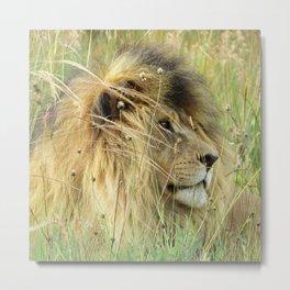 Leo Panthera African lion Metal Print