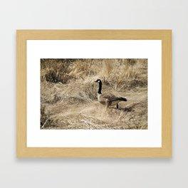 Canadian Goose. Framed Art Print