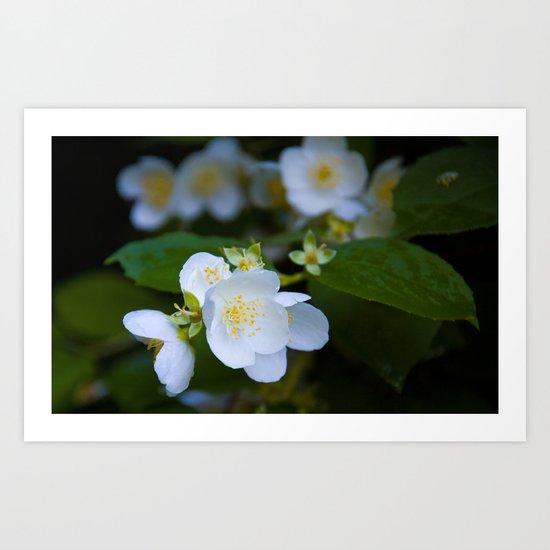 Wedding jasmine Art Print