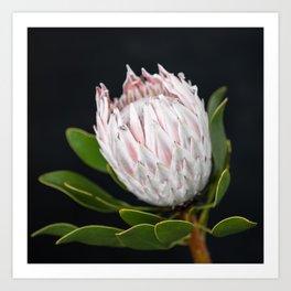 King Protea -  Blushing Art Print