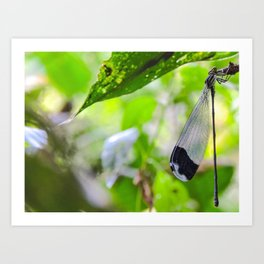 Damselfly Corcovado National Park, Costa Rica Art Print