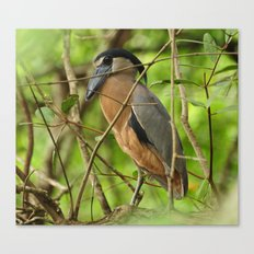 Boat-Billed Heron Canvas Print