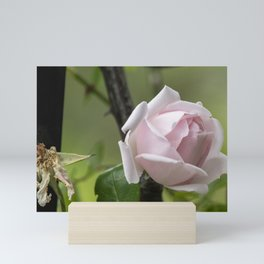 Life and Death Pink Rose Mini Art Print