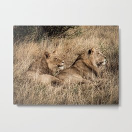 Camouflaged African Male Lions of the Kalahari Desert Metal Print