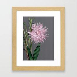 pale pink aster botanical Framed Art Print