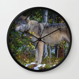 Wolf takes a moment of zen in Jasper National Park Wall Clock