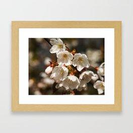 White Cherry Blossom Framed Art Print
