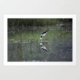 Black-Winged Stilt Art Print
