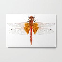 Scarlet Dragonfly species Crocothemis erythraea Metal Print