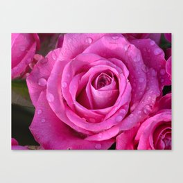 Pink rose close up with raindrops Canvas Print