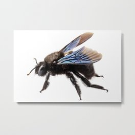 Violet carpenter bee species xylocopa violacea Metal Print