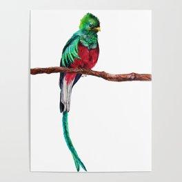 Pharomachrus mocinno Poster