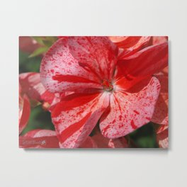 Zonal Geranium named Mosaic Red Metal Print