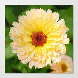Beautiful Yellow Marigold Goldbloom Close Up  Canvas Print