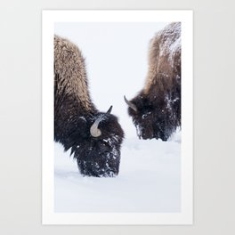 Two Bison in Winter Art Print