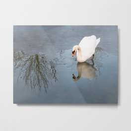 Swan in cold waters Metal Print