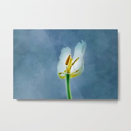 White withering tulip flower Metal Print