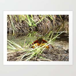 PAINTED TURTLE - COMING OUT OF THE DEPTHS! Art Print