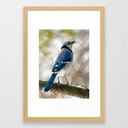Blue Jay Calling Framed Art Print