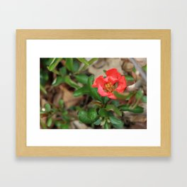 Japonica blossoms III Framed Art Print