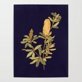 Banksia on Indigo Blue Botanical Illustration Poster