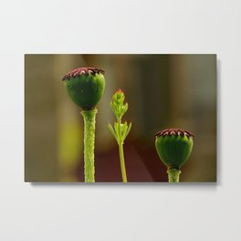 Poppy of Troy or Opium Poppy Metal Print