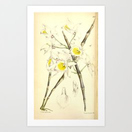 Flower 5652 dendrobium bullerainum Mr Wentworth Buller s Dendrobium1 Art Print