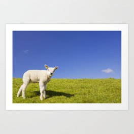 Texel lamb on the island of Texel, The Netherlands Art Print